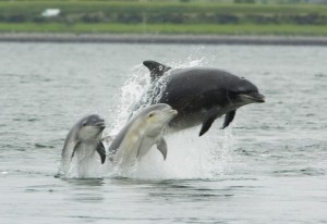 Bottlenose_dolphin_with_young