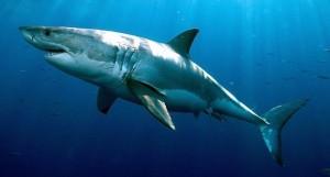 Great-White-Shark-1