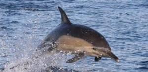 commonDolphin
